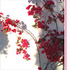 Bougainvillea Photographic Print Ann Froomberg Photography